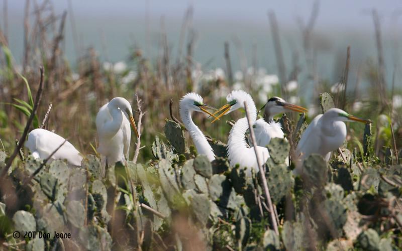 Great Egrets, Rookery Island, 3/18/11.
