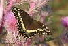 Palamedes Swallowtail / Purple Thistle, Aransas NWR, 3/30/09.