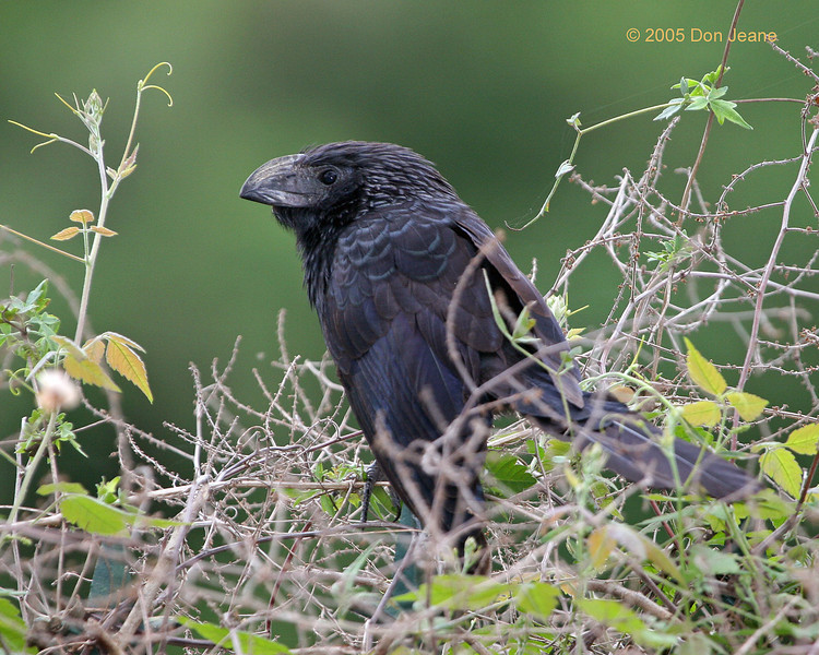 Frontera - Groove-billed Ani, 02/22/2005.