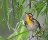 Blackburnian Warbler, Paradise Pond, Port Aransas, 04/25/2013.