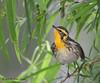 Blackburnian Warbler, Paradise Pond, Port Aransas, 04/25/2013.