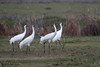 Whooping Cranes, Lamar Beach near Goose Island (Big Tree) State Park, Feb 10, 2012.