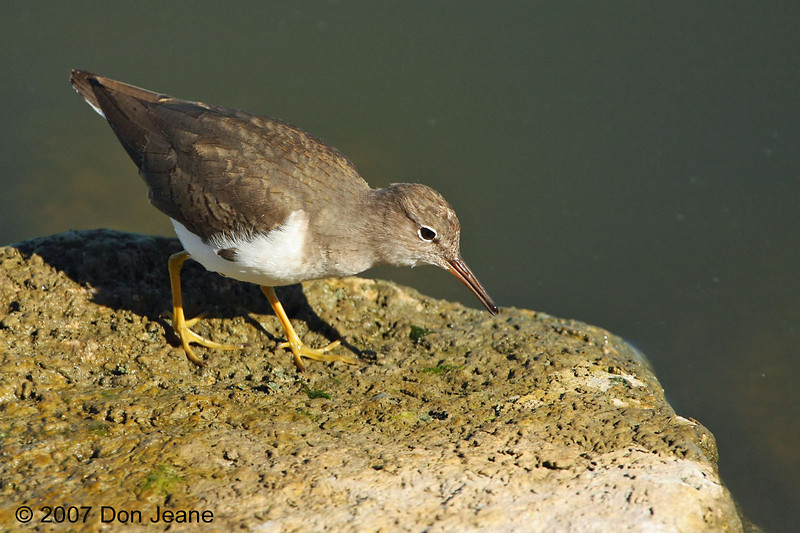 Spotted Sandpiper, Choke Canyon St Park, 12/04/2007.
