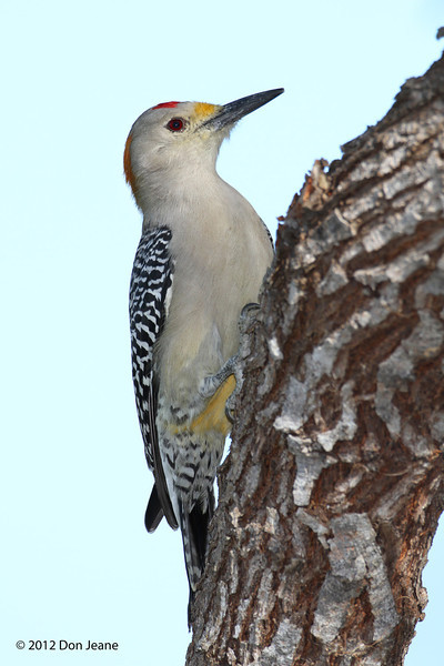 Male Golden-Fronted Woodpecker, Choke Canyon SP, 11/06/12.