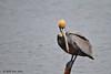 Brown Pelican,  Goose Island State Park, Feb 10, 2012.