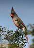 Pyrrhuloxia, Falcon State Park, 12/06/2006.