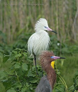 White Phase, Reddish Egret with normal colored mate. Only 1% of all these birds are found in the white phase. Very rare.