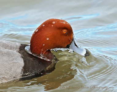 Redhead Drake rinsing off in the water.