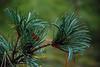 Black Pine - Detail