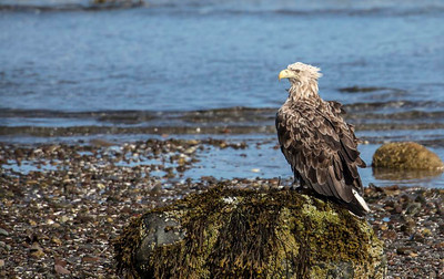 White tailed Eagle on the shore.