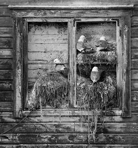 Kittiwakes nesting on harbour buildings.