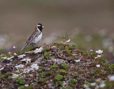 Male Lapland bunting.
