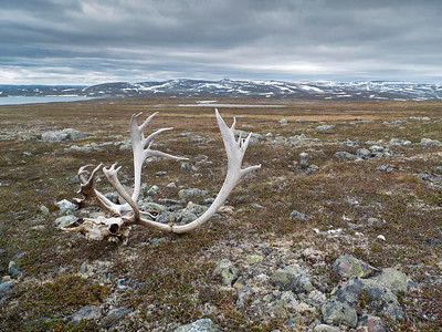 Reindeer remains on the high tundra.