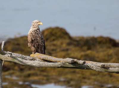 White tailed Eagle on fish drying rack.
