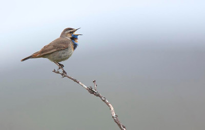 Singing male Bluethroat.