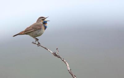 Singing male Bluethroat.