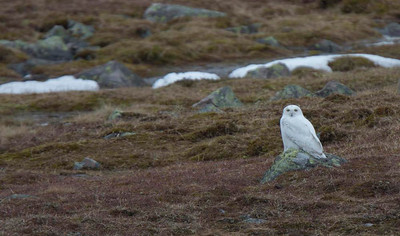 Snowy Owl on the Varanger peninsula