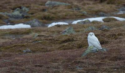 Snowy Owl on the Varanger peninsula