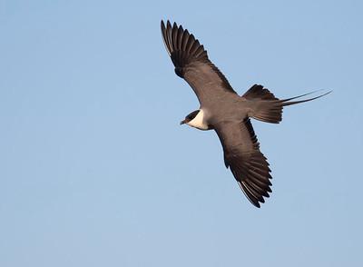 Long tailed skua.