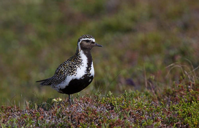 Northern Golden Plover.