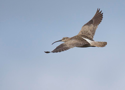 Whimbrel in flight.