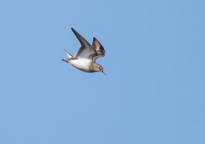 Temminks stint display flight.