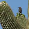 Saguaro NP saquaro closeup w-gila woodpecker 2