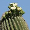 Saguaro NP saquaro closeup w-flowers 1