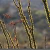 Saguaro NP Ocotillo 2