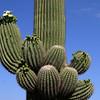 Saguaro NP saguaro 2