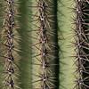 Saguaro NP saquaro closeup 1