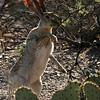 Saguaro NP jackalope 1