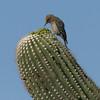 Saguaro NP saquaro closeup w-woodpecker