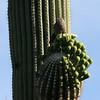 Saguaro NP saquaro closeup w-thrasher
