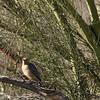 Saguaro NP palo verde w-gila woodpecker