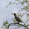Saguaro NP gambels quail