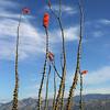 Saguaro NP Ocotillo 1