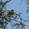 Saguaro NP wilson warbler in acacia