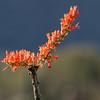 Saguaro NP Ocotillo 3
