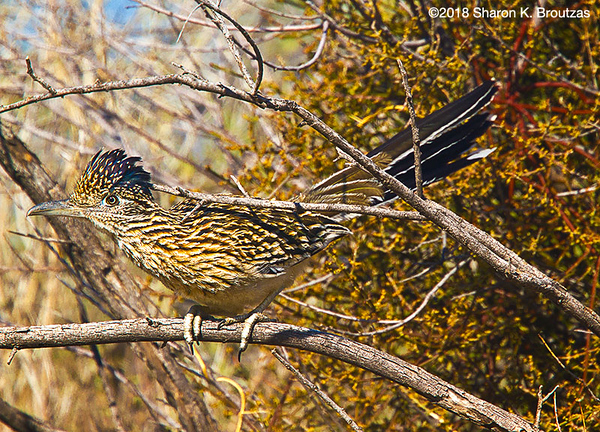 Greater  Roadrunner at Nest, Tucson, AZ