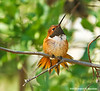 Rufous Hummingbird Male, Paton's Center for Hummingbirds, AZ