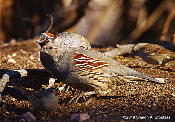 Gambel's Quail Couple, Paton's Center for Hummingbirds, AZ