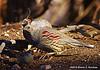 Gambel's Quail Couple, Paton's Center for Hummingbirds, AZ