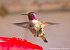 Anna's Hummingbird Male, Paton's Center for Hummingbirds, AZ