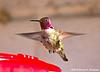 Anna's Hummingbird Male, Paton's Center for Hummingbirds, AZ
