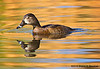 Ring-necked Duck Female, Agua Caliente, AZ
