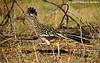Greater Roadrunner Male Gathering Nest Material