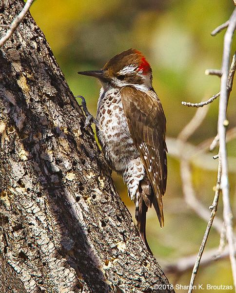 Arizona Woodpecker Male, Madera Canyon, AZ