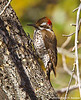 Arizona Woodpecker Male, Madera Canyon, AZ