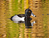 Ring-necked Duck Male at Agua Caliente, AZ